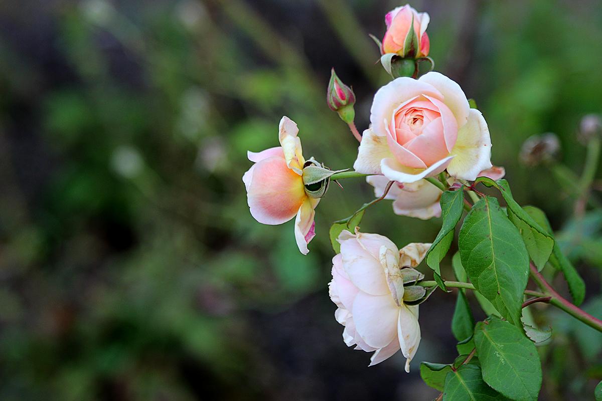 تصاویر گل های عاشقانه   متحرک
